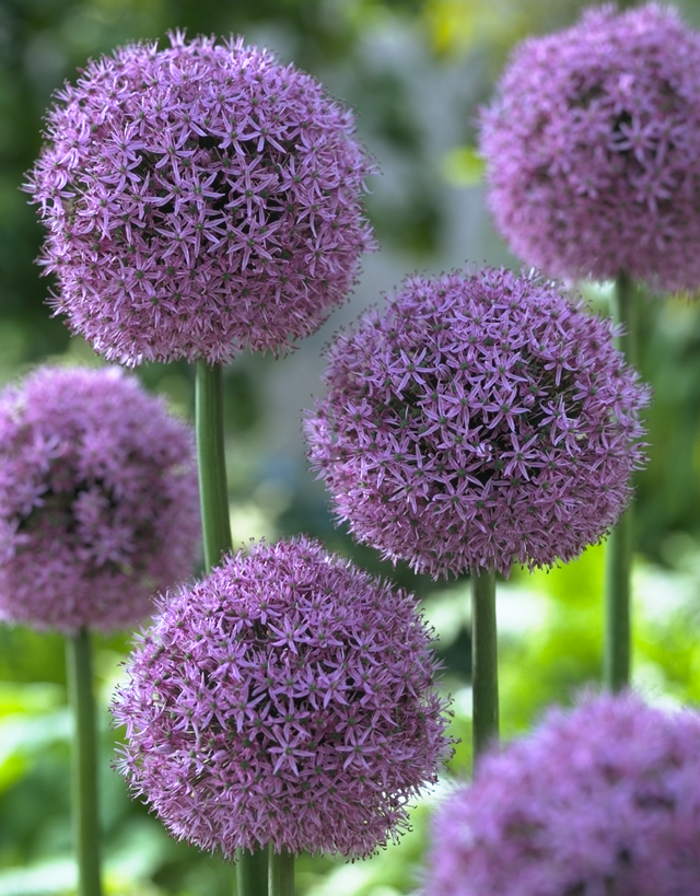 Purple balls of allium flower bulb crazy allium gladiator which is big and compact but shorter than the gigantum also is purple mightylinksfo
