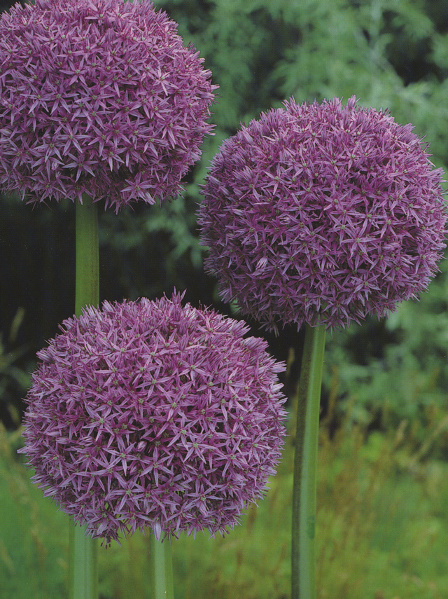 purple balls of allium  flower bulb crazy, Beautiful flower