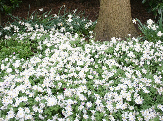 Ground cover and border tips ideas flower bulb crazy anemone blanda mightylinksfo