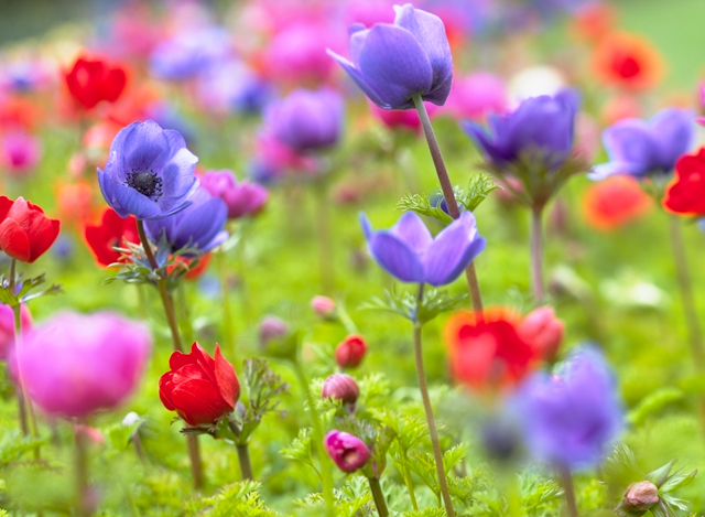 Adorable anemones flower bulb crazy adorable anemones mightylinksfo