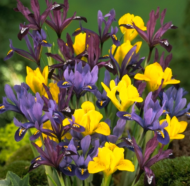beautiful beards of iris and other beauties flower bulb. Black Bedroom Furniture Sets. Home Design Ideas