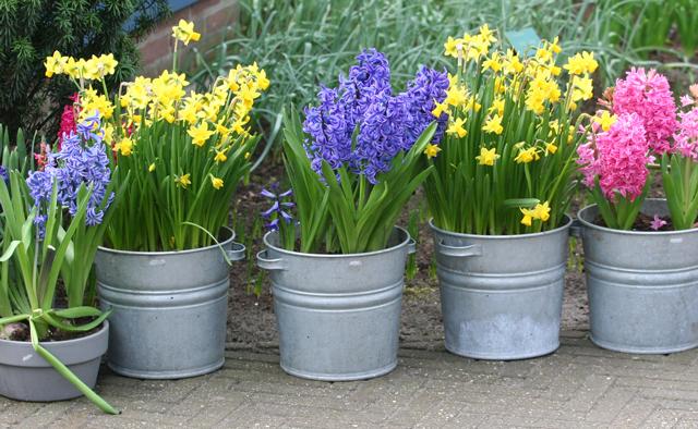 Forcing flower bulbs flower bulb crazy - Planting hyacinths pots ...