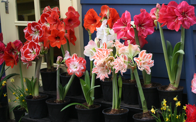 Flower bulb crazy part 5 - Indoor potted flowers ...