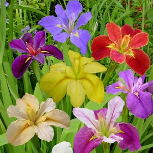 Louisiana Iris Mix