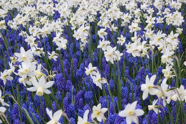 Naturalizing Or Multiplying Plants Are The Bomb Flower Bulb Crazy