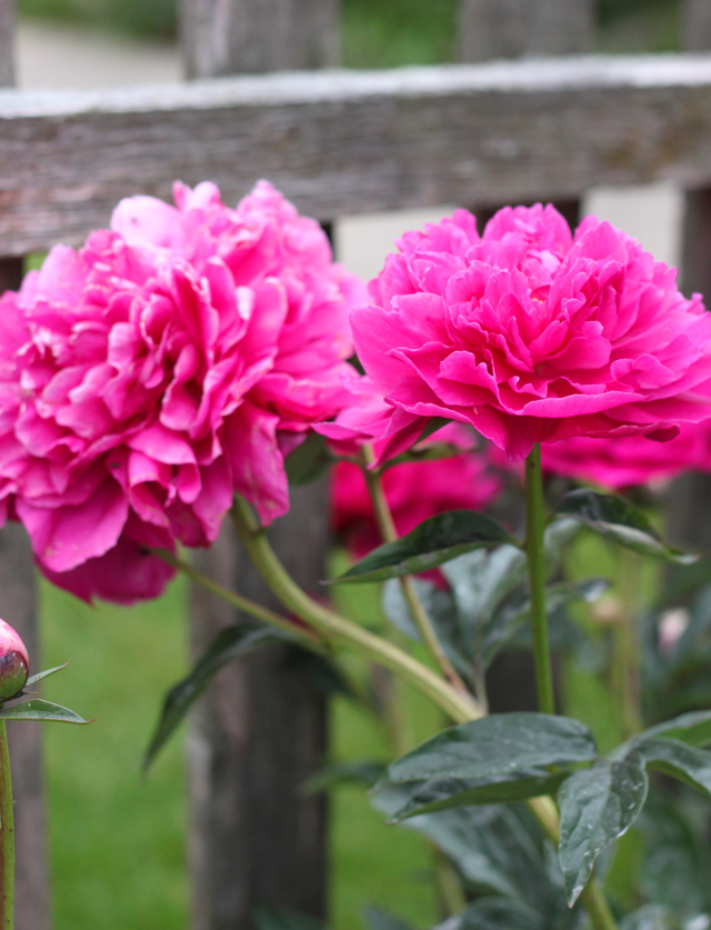 A Treasured Classic Peony Flower Bulb Crazy
